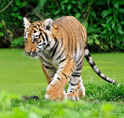Taj Mahal und Tigerpirsch