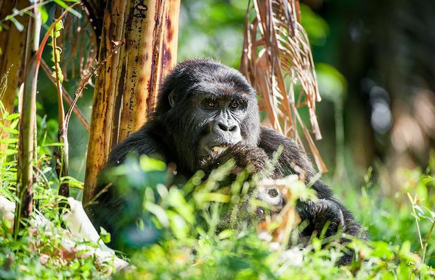 Berggorillas und andere Naturwunder